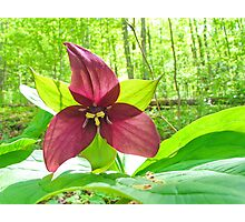 back lit trillium Photographic Print