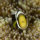 Clark's Anemonefish - Amphiprion clarkii by Andrew Trevor-Jones