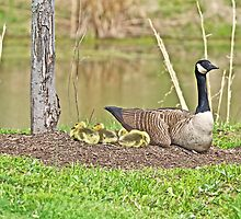 Canada Goose And Goslings by MotherNature