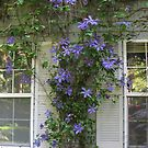 Climbing Blue Clematis by Pat Yager