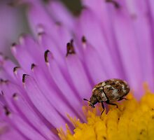 varied carpet beetle eating nectar on an aster by stresskiller