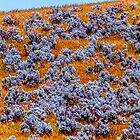 Salt bush Grass by Normf