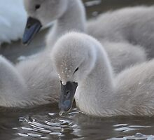 Cygnet Feeding In Harbour by Adrian Wale