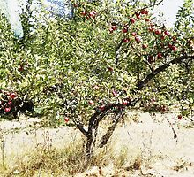 Pioneer Orchard Apple Tree by karaskye