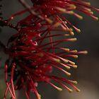 Australian Native 25 by beeden