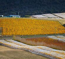 Vineyard, Richmond, Tasmania by Chris Cobern