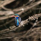 Malachite Kingfisher 2 by Warren. A. Williams