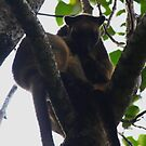 Mother and Joey - Lumholtz's Tree Kangaroo - FNQ  by john  Lenagan
