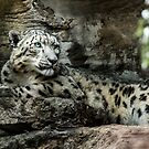Snow Leopard by Adam Le Good