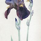 Purple Iris with Hummingbird Moth by Ray Shuell