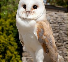 Barn Owl by J-images