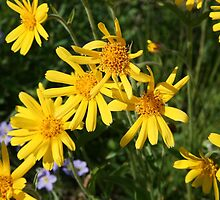 Chamisso's Arnica by Vickie Emms