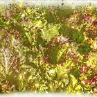 Garden Lettuce - Green Gold by MotherNature