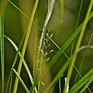 A studie of grass 6 by Carolyn Clark