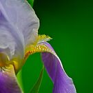 Purple Iris 2 by Carolyn Clark
