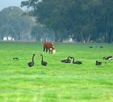 Cattle and swans by ndarby1