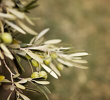Olive Tree by VaidaAbdul
