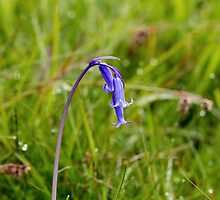 Bluebell by Sue Robinson