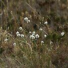 Cotton Grass by Sue Robinson
