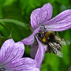 Bee On Lilac Wild Geranium by lynn carter