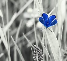 Dorset Blue Butterfly by Amar-Images