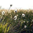 Cottongrass at Løvstakken by Algot Kristoffer Peterson