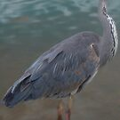 Who me? Heron by JohnYoung