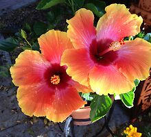 Home Grown Hibiscus  by RoughCutErik