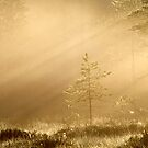 9.6.2014: Pine Tree in Morning Light by Petri Volanen