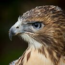 Red-tailed Hawk by alan tunnicliffe