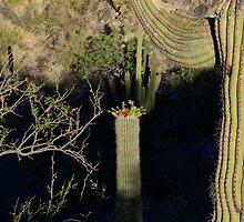 101 Saguaro Bloom  by ptosis