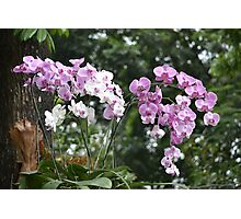 purple and white dendrobium orchid Photographic Print