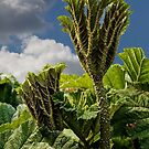 Giant Rhubarb by John Thurgood
