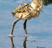 Sleepy Black-necked Stilt Chick by Bunny Clarke