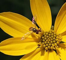 Hover Fly on Flower by Sheryl Hopkins