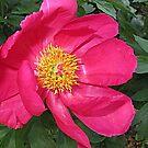 Rosy Peony by Monnie Ryan
