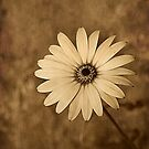 Vintage Daisy by Christine Lake