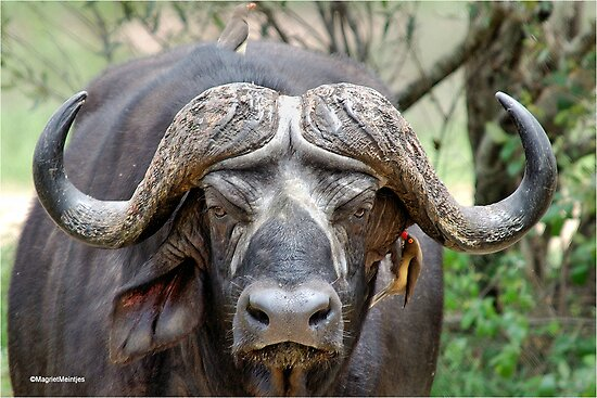 JUST STARING - THE BUFFALO - Syncerus caffer  by Magaret Meintjes