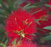 callistemon flower by ndarby1