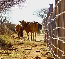 Till the cows come home by Graeme Mockler