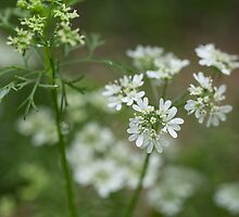 Cilantro in Bloom by Lynn Gedeon