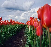 Tulips In Wonderland by AntonyDeGennaro