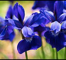 Blue Iris Patch by tvlgoddess