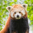Red Panda by M.S. Photography & Art
