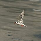 Common Tern by Jon Lees