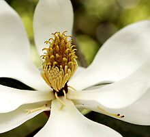 Southern Magnolia by Carol Bailey White