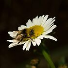 Busy Bee by JanSmithPics