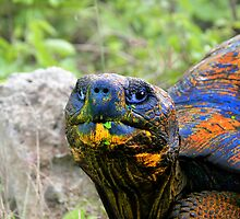 Up Close And Personal With A Giant Tortoise In The Galapagos by Al Bourassa