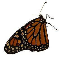 Monarch Butterfly by Francis LaLonde