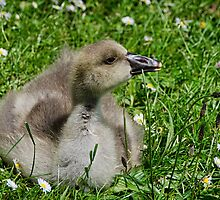 Young Gosling by Susie Peek